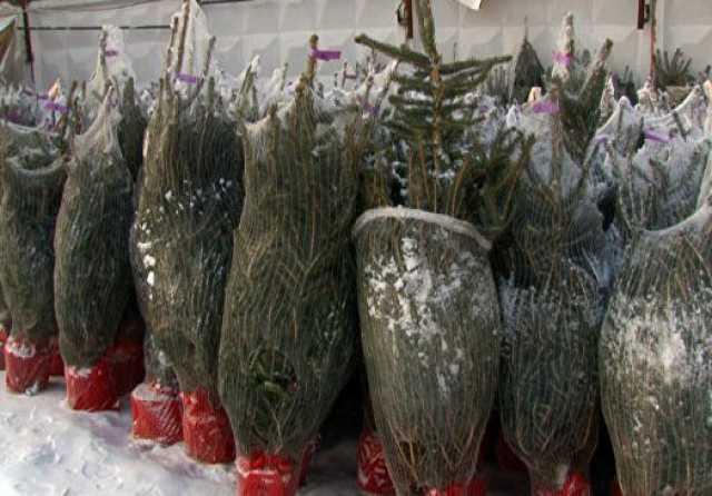 Продам Елки и сосны новогодние пушистые