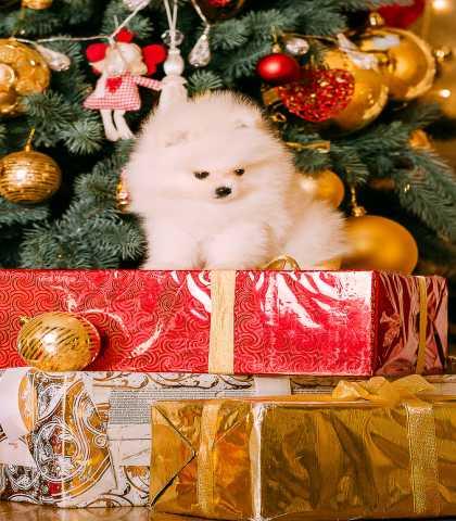 Продам Щенок шпица-лучший Новогодний Подарок