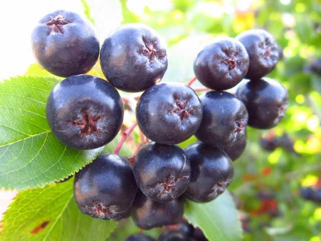 Продам Черноплодная рябина арония, черноплодка