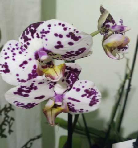 Продам Коллекционные орхидеи