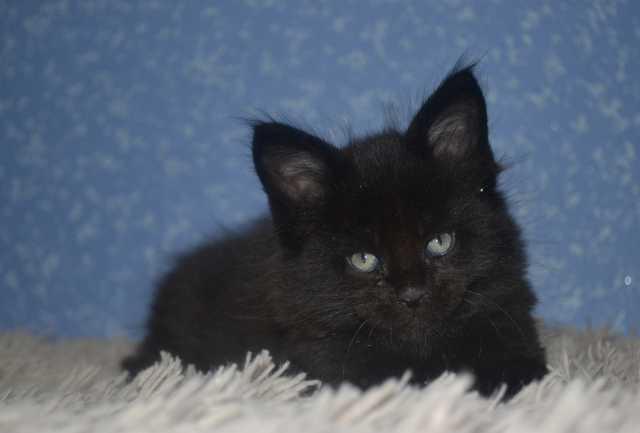 Продам Чудные котята породы Мейн-Кун
