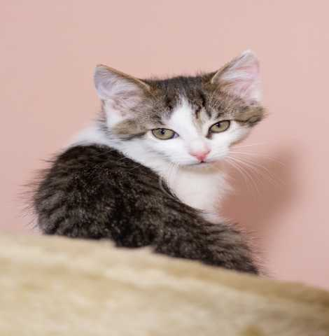 Доска объявление отдам британец вислоухий черный котенок с голубыми глазами подать объявление о продаже сад