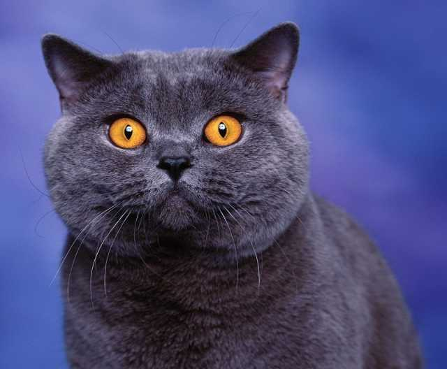 Отдам даром кошку британку