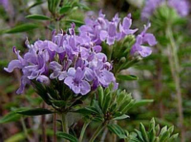 Продам Зизифора - редкое пряное растение.
