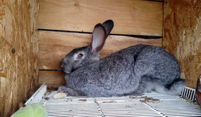Продам Кролики,Фландр,Советская Шиншилла,Черно