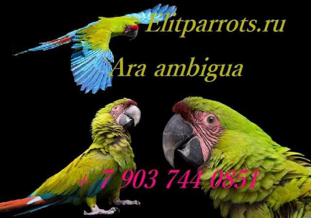 Продам Зеленый ара - птенцы из питом.Евр