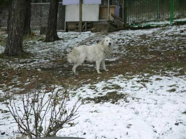 Продам Щенки пиренейской горной собаки