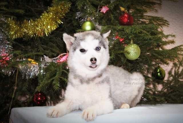 Частные объявления о продаже собак в новосибирске частные объявления винтиляция