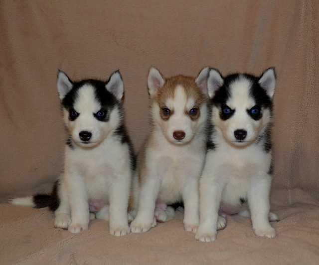 Продам Чистопородные щенки Сибирский Хаски