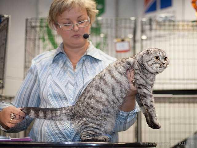 Продам Шотландские котята фолды и страйты