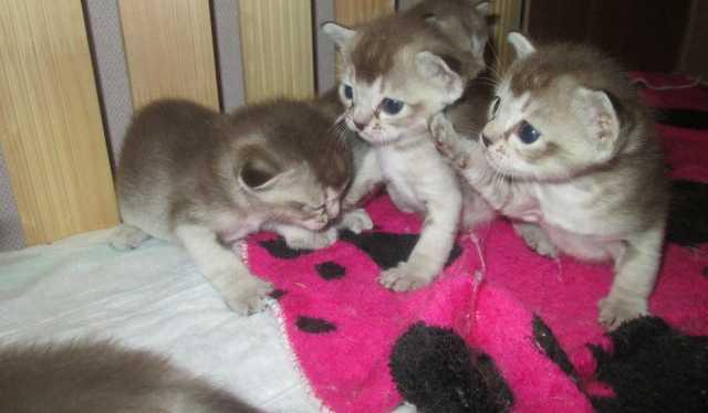Продам котята Сингапура