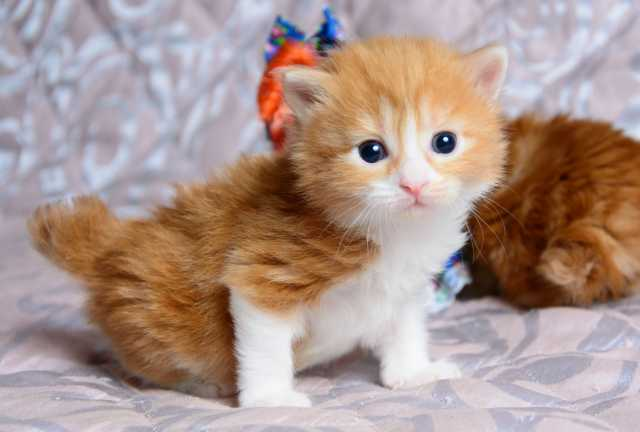 Продам котята курильского бобтейла из питомник