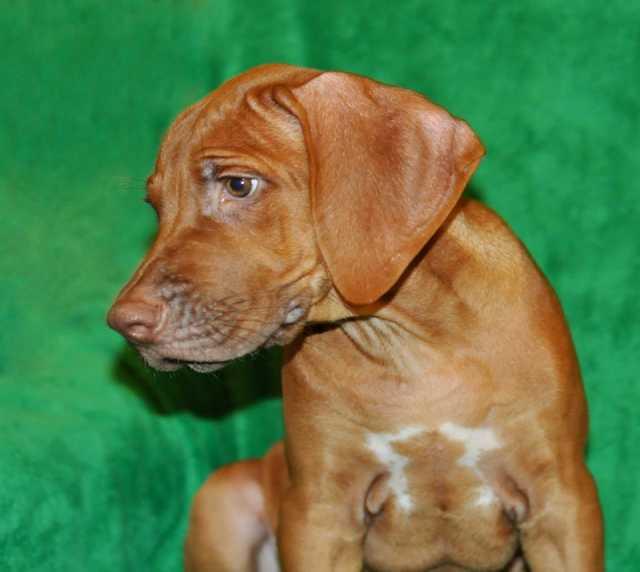 Продам Ливерный щенок родезийского риджбека