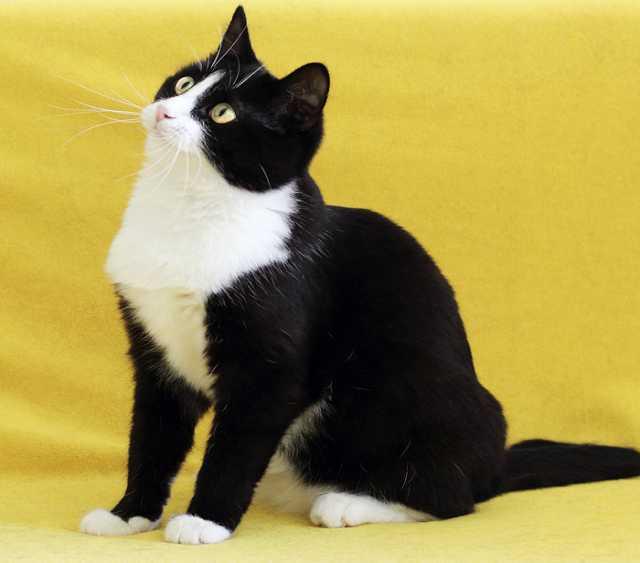 Отдам даром Симона, талантливая веселая кошка 2г.