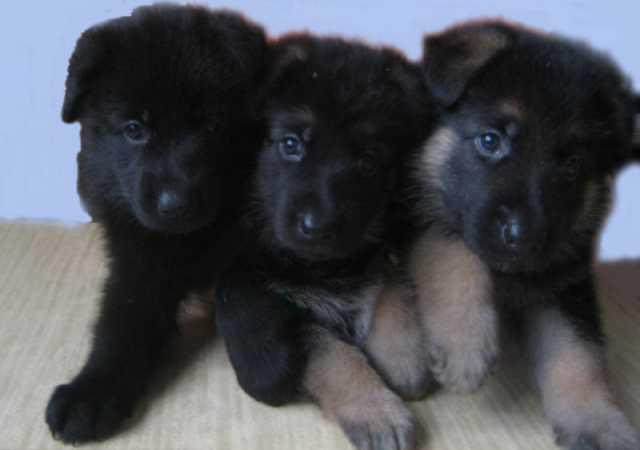 Продам щенки восточно-европейской овчарки