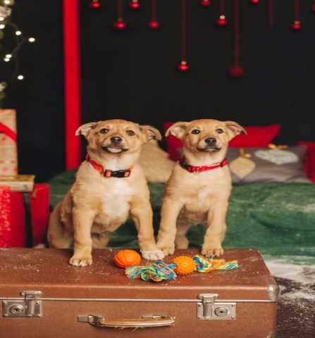 Отдам даром Чудесные щенки Молли и Лея в добрые руки