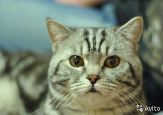 Продам: Котята  шотландские Кот на вязку 1500