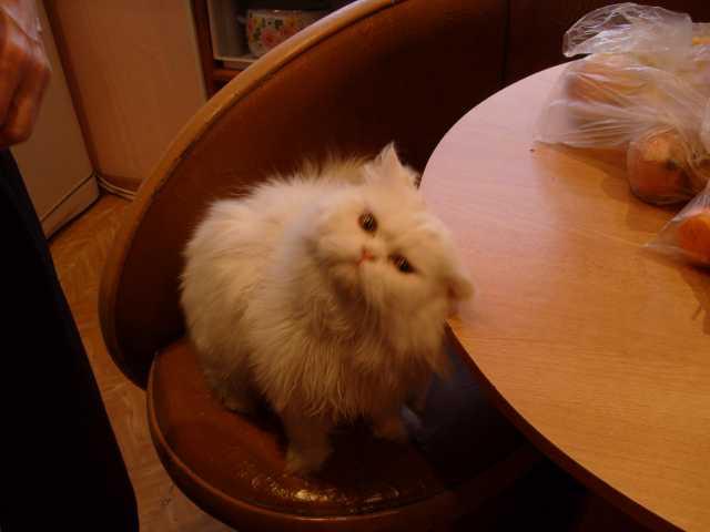 Отдам даром персидского кота