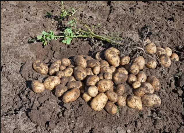 Продам Картофель и другие овощи