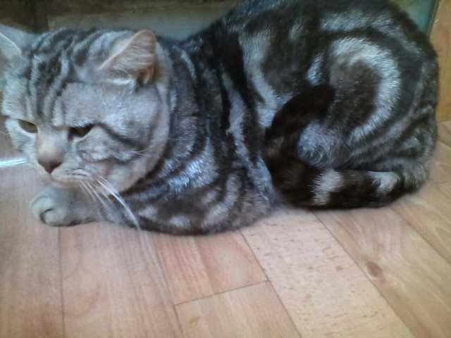Продам Котята  шотландские Кот на вязку 1500