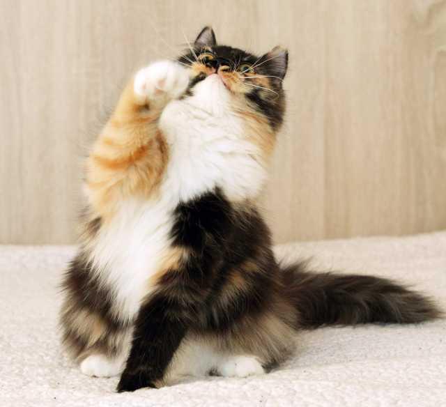 Отдам даром Пинто, пушистая черепаховая кошка 6 меc.
