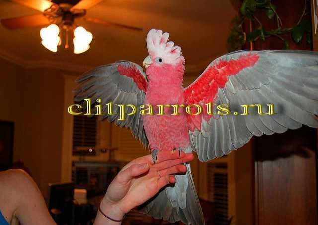 Продам  Розовый какаду (Eolophus roseicapilla)