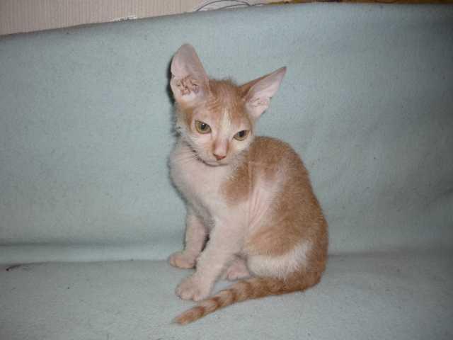 Продам: Продам котенка донского сфинкса (мал)