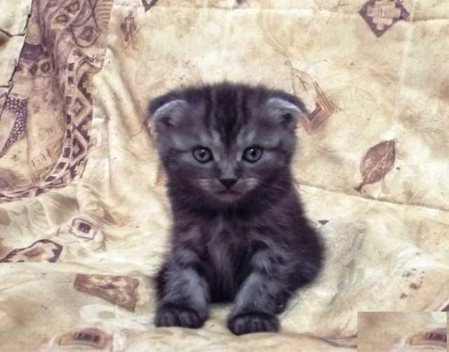 Продам Британских котят,возраст 1 месяц и 1 нед