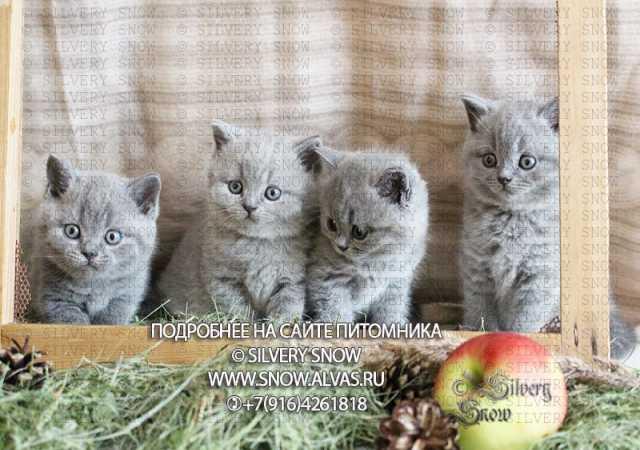 Продам Британские котята из питомника