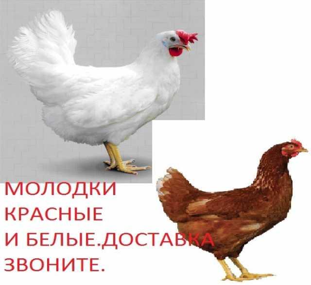 Продам Куры несушки молодки белые и красные