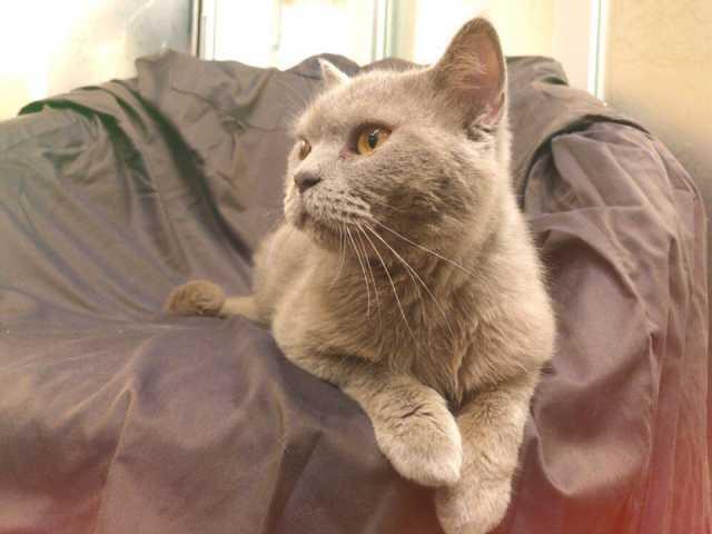 Отдам даром Кот по имени Брит в добрые руки!