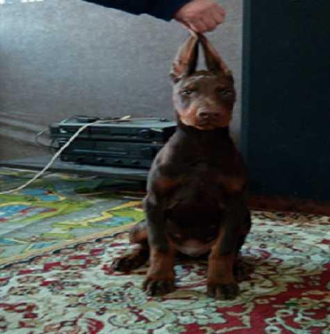 Продам Добермана щенок. КОБЕЛИ КОРИЧНЕВЫЕ