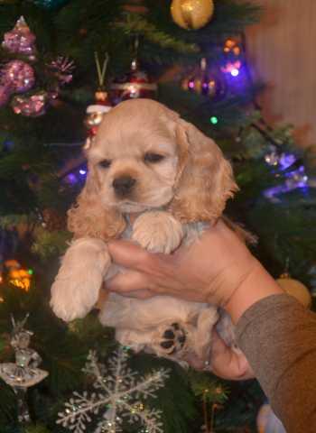 Продам щенка американского кокер-спаниеля