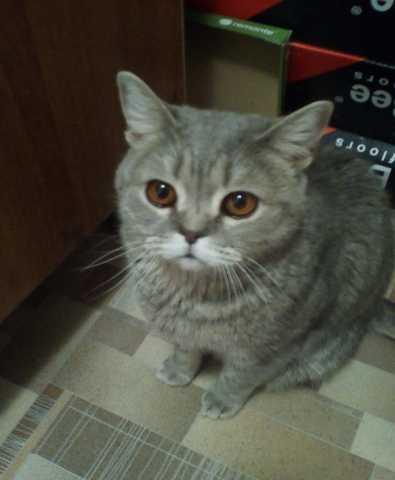Отдам даром шотландский кот
