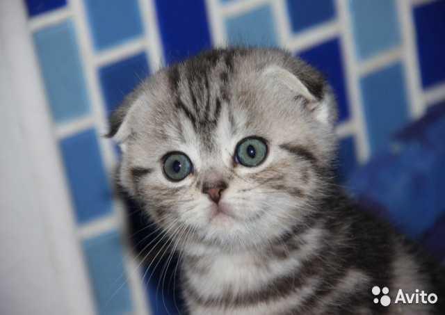 Продам Вислоухие и прямоухие котята