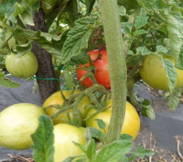Продам: Морозоустойчивые томаты, скороспелка.рф