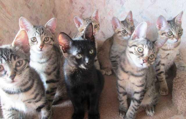 Продам Курильский бобтейл - аборигенная кошка !