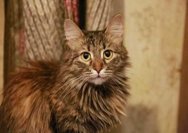 Отдам даром Тигровая красавица Леся, молодая кошечка