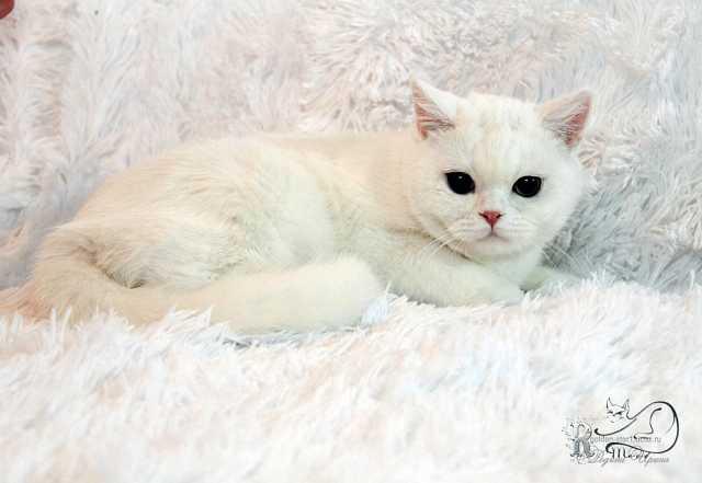 Продам Белого котика