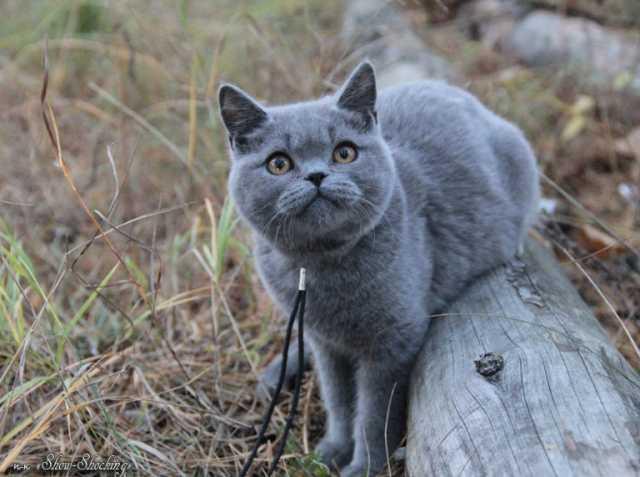 Продам Британские котята,окр.черный,голубой.