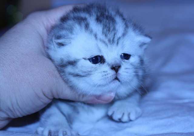 Продам Британские котята мрамор и пятно