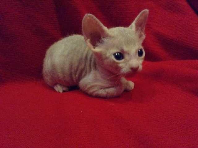 Продам Котят породы Донской сфинкс