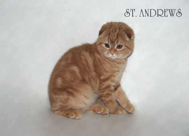 Продам Шотландские короткошерстные котята