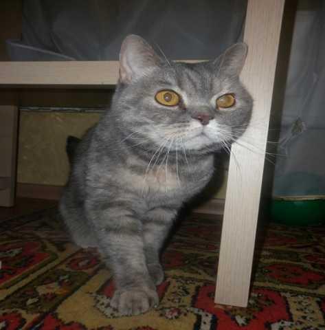 Отдам даром кошку Василису