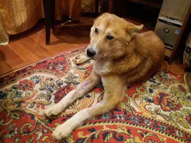 Отдам даром Молодой спокойный рыжий пёс (метис)