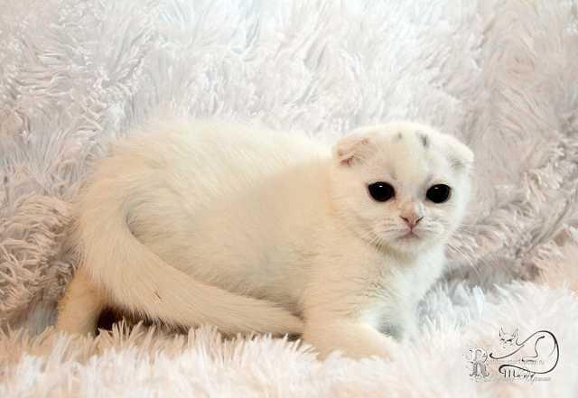 Продам Вислоухие котята