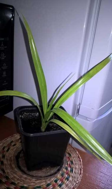 Продам Аквариумное растение Панданус