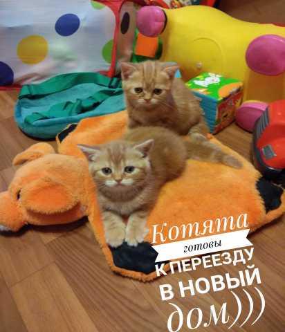 Продам Шотланские котята