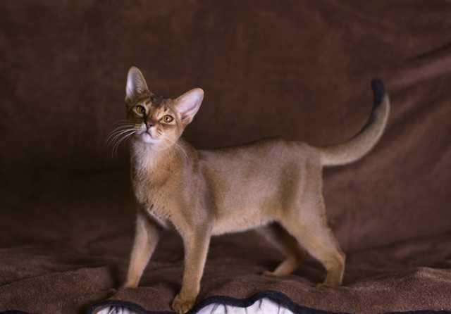 Продам Абиссинский котенок