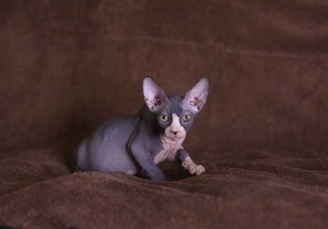 Продам Канадский сфинкс, котята